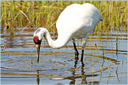 A whooping crane at the Crane Foundation.