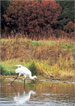 A whooping crane in the Crane Foundation pond.
