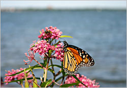 Swamp milkweed on Lake Bemidji.