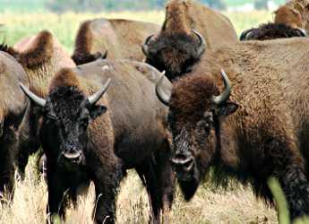Bison at Blue Mounds State Park.