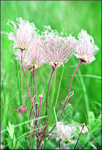 Prairie smoke at Blue Mounds.