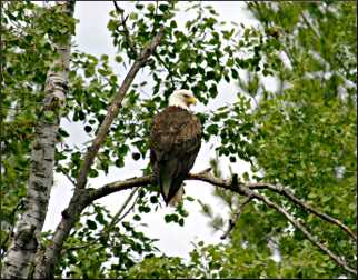 A bald eagle sits in a tree.