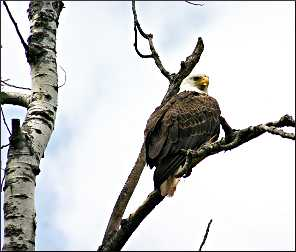 An eagle sits in a tree.