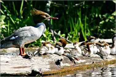 merganser ducks sit on log in Bois Brule River.
