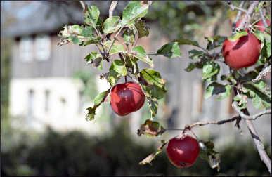 Apple orchard in Door County.