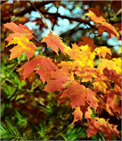 Vivid fall leaves in Door County.