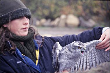 A naturalist holds a goshawk at Hawk Ridge.