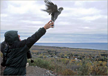 A birder releases a goshawk on Hawk Ridge.