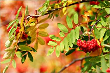 Mountain ash berries in fall.