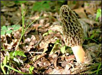 Morel mushrooms near Durand.