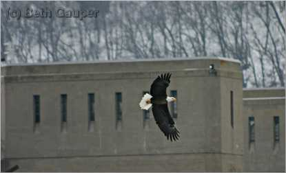 An eagle looks for fish at the lock and dam in Genoa, Wis.