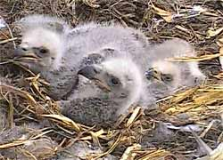 Fuzzy eaglets in the nest.
