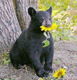Lucky the bear chomps a sunflower in Ely.