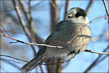 A gray jay on the Gunflint Trail.
