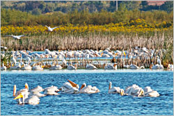 Pelicans rest in Horicon Marsh.