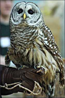 A barred owl.