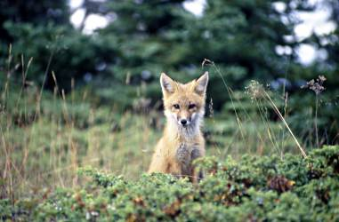 A fox gazes at a hiker on Isle Royale.