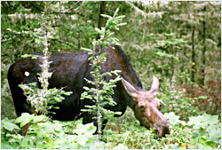 A moose calf on Isle Royale.