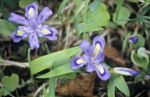 Dwarf lake iris grow in Door County