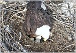 An eagle nesting in the Twin Cities.