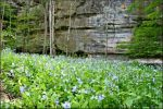 Bluebells in Kaskaskia Canyon.