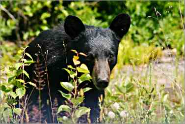 Bear eats blueberries on Keweenaw Peninsula