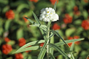 Pearly everlasting grows amid bunchberries on the Keweenaw P