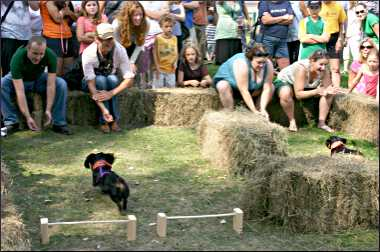 Dachshund races at a festival.