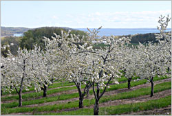 A cherry orchard on the Old Mission Peninsula.