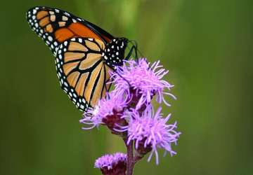 A monarch on a blazing star.