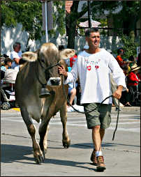 A Swiss brown cow in Monroe.