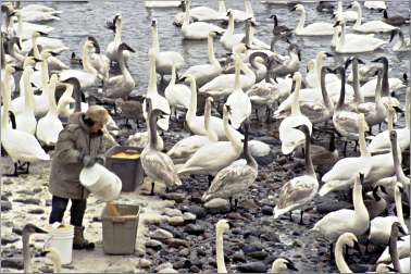Sheila Lawrence feeding trumpeter swans.