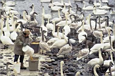 Sheila Lawrence feeding trumpeter swans.