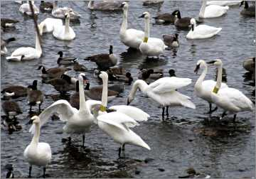 Trumpeter swans gather in Monticello.