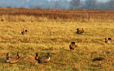 Prairie chickens in a field.