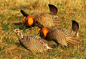 Three prairie chickens courting.