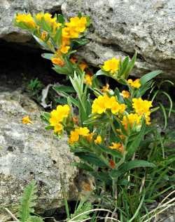 Hoary puccoon in spring.
