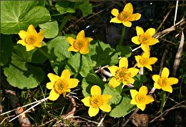 Marsh marigolds at Split Rock.