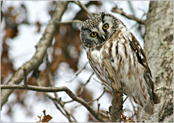 Boreal owl in St. Croix State Park.