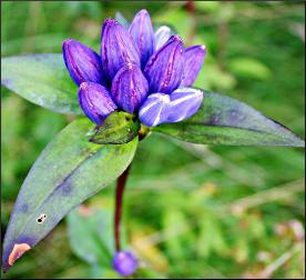 Bottle gentian on a hiking trail.