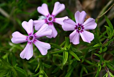 Spring phlox at Sugarloaf.