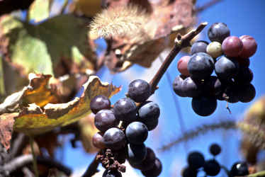 Grapes on the vine in a vineyard.