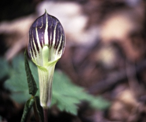 A jack-in-the-pulpit.