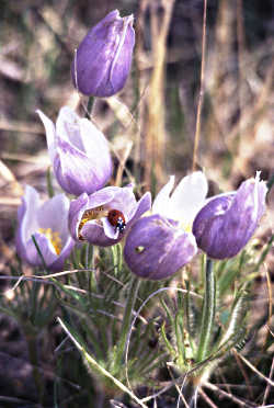 Pasqueflowers on the Cannon River.
